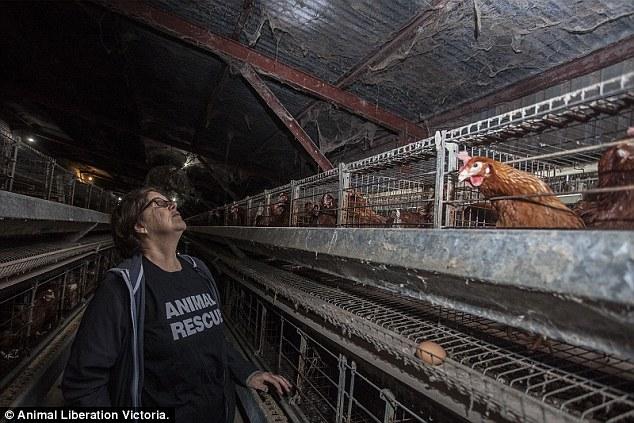 Tavuk çiftliğindeki korkunç koşullar afişe edildi