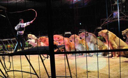Büyük kedilerin sirklere ait olmadığını gösteren 6 neden
