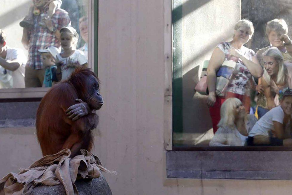 İnsan her yerde insan: Rusya'nın soğuğunda bir Sumatra orangutanı