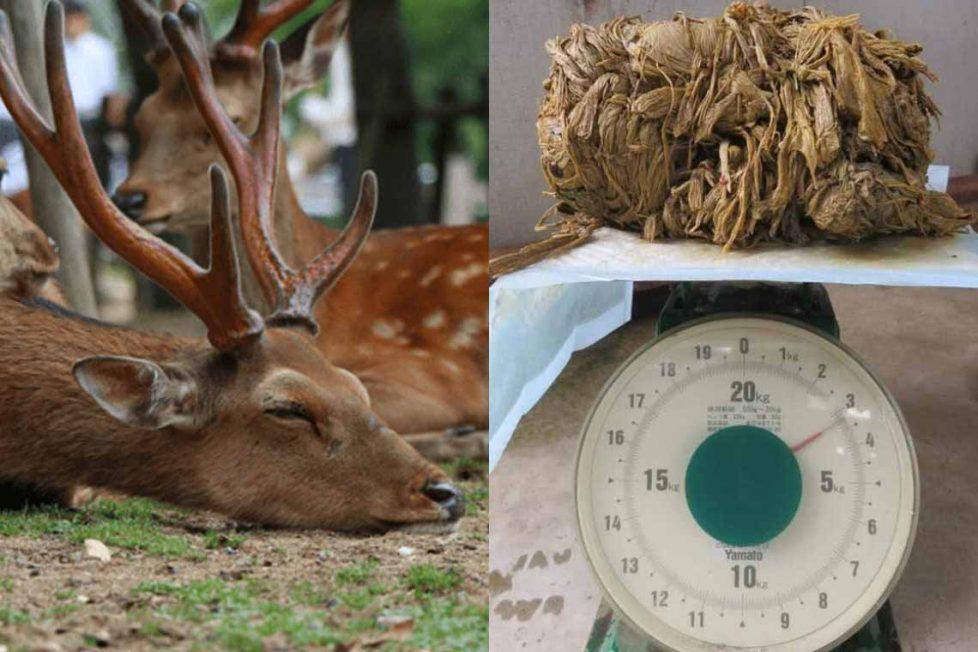Nara geyiği karnında 4 kg plastik ile öldü