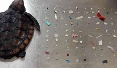 Bebek deniz kamplumbağısının karnında 104 adet plastik bulundu