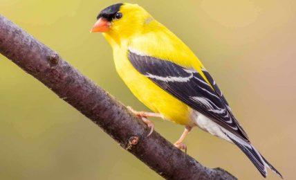 Böcek ilaçları yüzünden ötücü kuşlar azalıyor