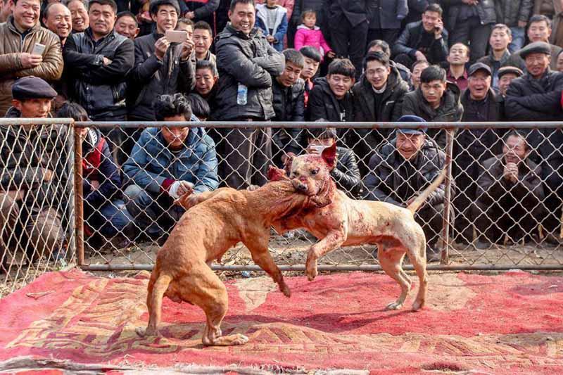 Çin'deki köpek dövüşlerinin zalim dünyasından korkunç görüntüler ortaya çıktı