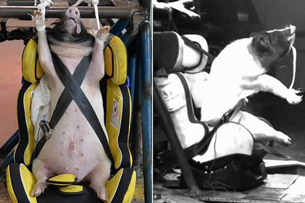 Çinli bilim insanları kaza testleri için canlı domuz kullanıyor