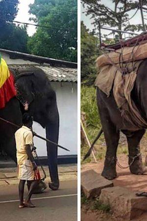 Sri Lanka'daki genç fil yorgunluğa dayanamayıp öldü