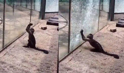 Bu maymun özgürlüğü için bir kaya yardımı ile camı kırmaya çalışıyor