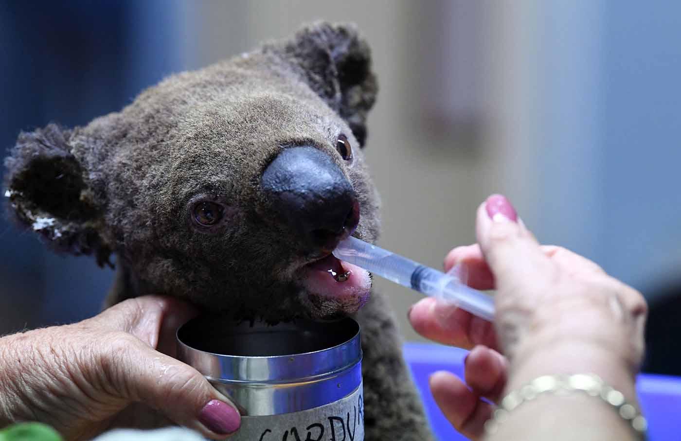 Avustralya yangınları nedeniyle koalaların üçte biri yok oldu