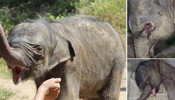 Bebek fil beş saat boyunca ağladı