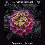 10. Sagavanga - Lantana