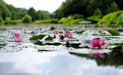 Lotus çiçeklerini ve ustaları anlamak